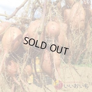 画像3: 安納芋 Sサイズ  通常2,600円がキャンペーン特価!